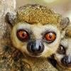 Applecorehoteks_--_lemurs