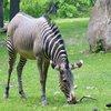 Rsz_854377_zebra